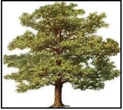 oak tree small