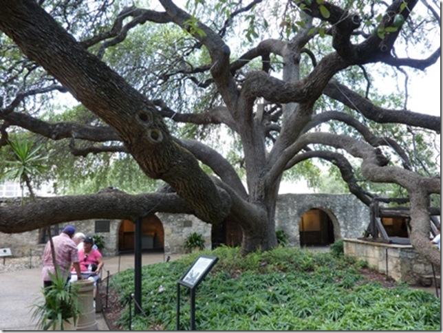 Live oak in courtyard